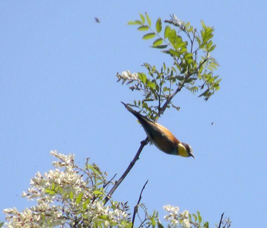 gruccione acacia
