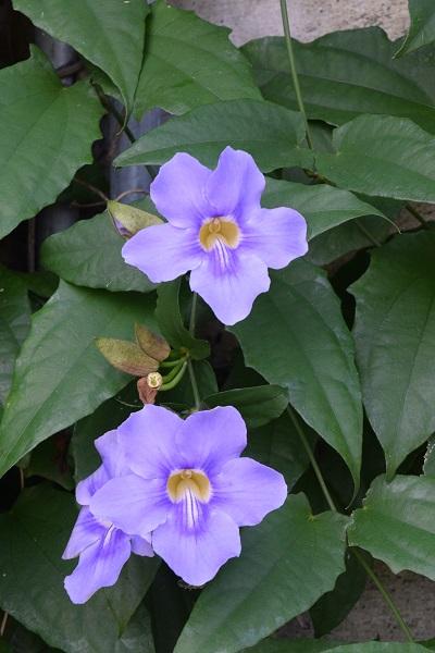due-fiori-blu